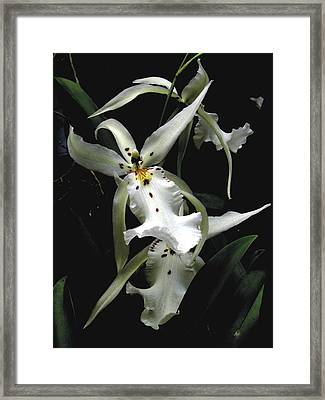 White Orchid Framed Print by Rudy Umans