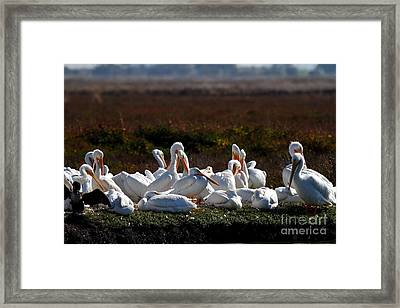 White Pelicans Framed Print by Wingsdomain Art and Photography
