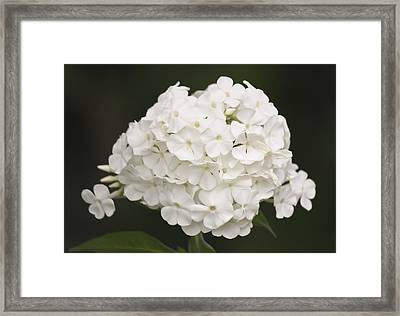 White Phlox Framed Print by Teresa Mucha