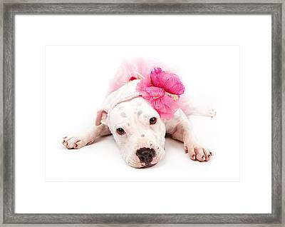 White Pit Bull Dog Wearing Pink  Framed Print by Susan  Schmitz