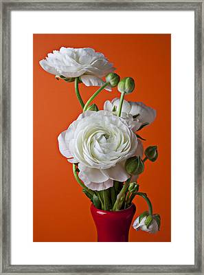 White Ranunculus Close Up In Red Vase Framed Print by Garry Gay