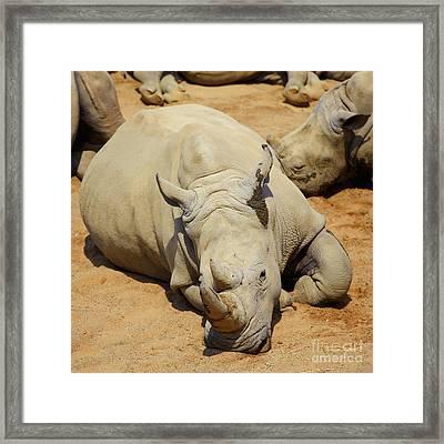 White Rhino Resting In The Sun Framed Print by Gabriela Insuratelu