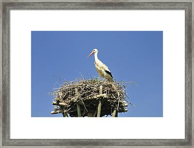 White Stork Ciconia Ciconia Framed Print by Matthias Hauser