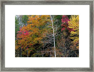 White Tree Fall Colors  Framed Print by Rich Franco