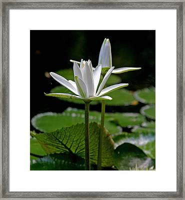 White Water Lily Framed Print by Lisa  Spencer