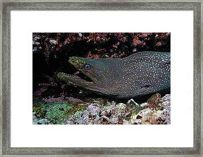 Whitespotted Moray Eel Framed Print by Sami Sarkis