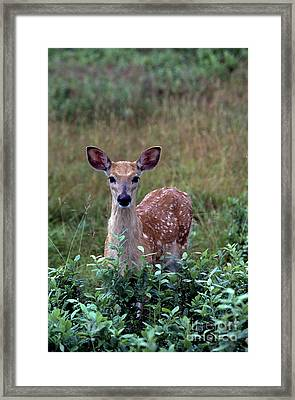 Whitetail Deer Fawn Framed Print by Thomas R Fletcher