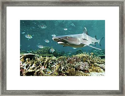 Whitetip Shark Over Coral Reef Framed Print by Alexander Safonov