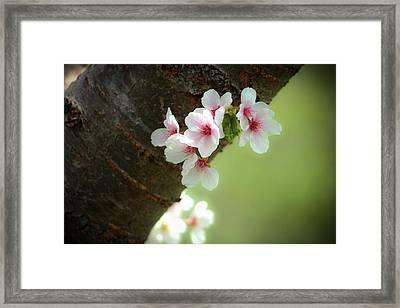 Wild Cherry Blossom Framed Print by Emanuel Tanjala