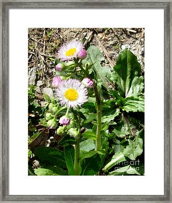 Wild Daisy Framed Print by The Kepharts