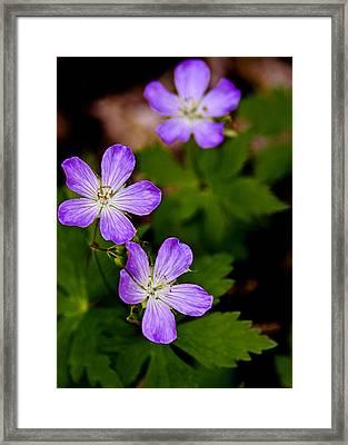 Wild Geranium Framed Print by LeeAnn McLaneGoetz McLaneGoetzStudioLLCcom