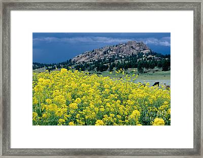 Wild Mustard Framed Print by James Steinberg and Photo Researchers