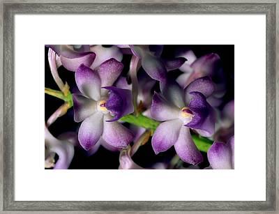 Wild Orchids Rhynchostylis Coelestis Framed Print by Tim Laman