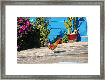 Wild Rooster Framed Print by Aimee L Maher Photography and Art Visit ALMGallerydotcom