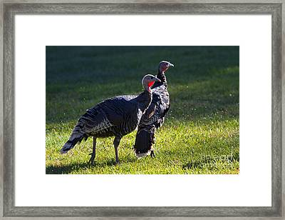 Wild Turkeys Framed Print by Mike  Dawson