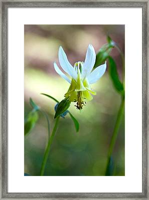 Wild Yellow Columbine Framed Print by Karon Melillo DeVega