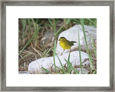Wilsons Warbler By The Stream Framed Print by Roena King