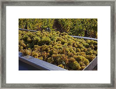 Wine Harvest Framed Print by Garry Gay