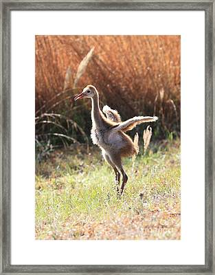 Winging It In The Morning Framed Print by Carol Groenen