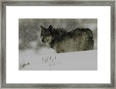 Winter Wolf #1 Framed Print by Kenneth McElroy
