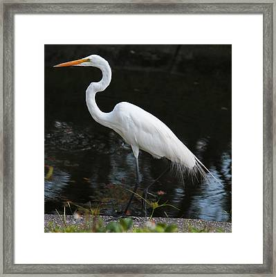 Wispy Feathers Of A White Heron Framed Print by Becky Lodes