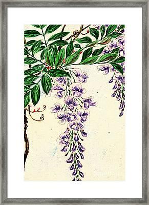 Wisteria Vine Blooms 1870 Framed Print by Padre Art