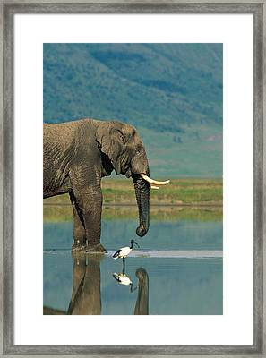 With A Sacred Ibis Threskiornis Framed Print by Beverly Joubert