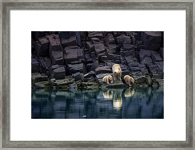 Without Ice, A Mother Bear And Cubs Framed Print by Paul Nicklen