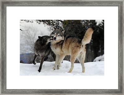 Wolves Kissing Framed Print by Jacki Pienta