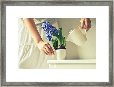 Woman Watering Blue Hyacinth Framed Print by Photo by Ira Heuvelman-Dobrolyubova