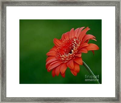 Wonder Of Nature Gerber Daisy Framed Print by Inspired Nature Photography Fine Art Photography