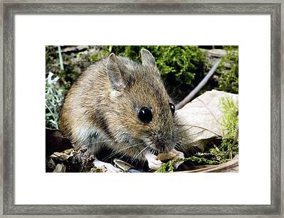 Wood Mouse Feeding Framed Print by Duncan Shaw