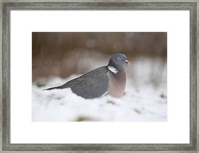 Wood Pigeon In Snow Framed Print by Colin Varndell