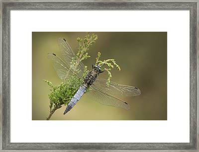 Wounded Hero Framed Print by Andy Astbury