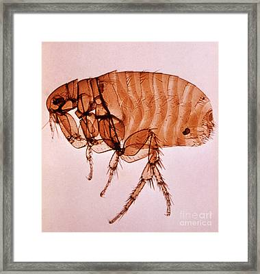 Xenopsylla Cheopis Framed Print by Science Source