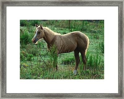 Yearling Palomino Chewing On A Stick - C0482c Framed Print by Paul Lyndon Phillips