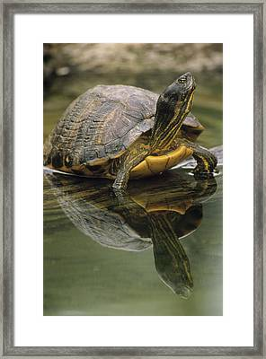 Yellow-bellied Slider Trachemys Scripta Framed Print by Gerry Ellis