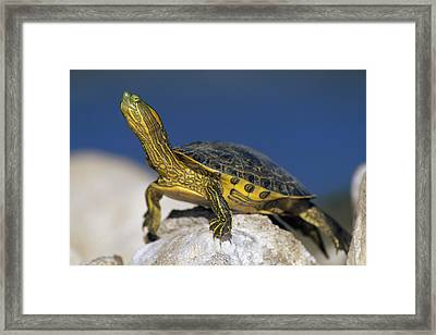 Yellow-bellied Slider Trachemys Scripta Framed Print by Tim Fitzharris