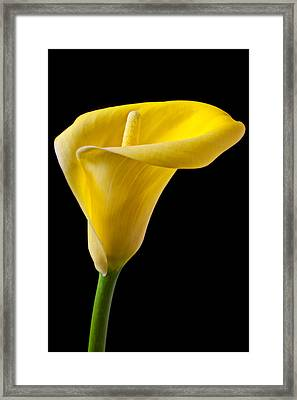 Yellow Calla Lily Framed Print by Garry Gay
