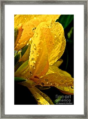 Yellow Canna Lily Framed Print by Susan Herber