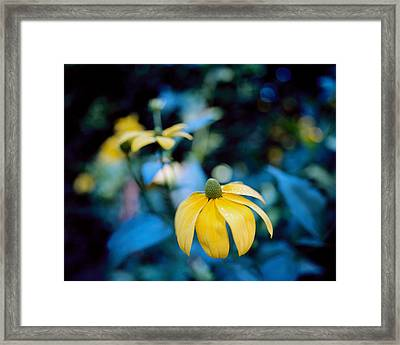 Yellow Cone Flower On Blue Background Framed Print by Marcio Faustino