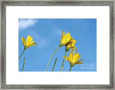 Yellow Daisy Flowers Framed Print by Blink Images