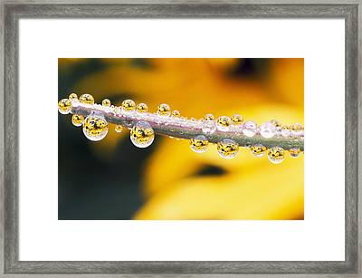 Yellow Flowers Reflected In Dew Drops Framed Print by Natural Selection Craig Tuttle