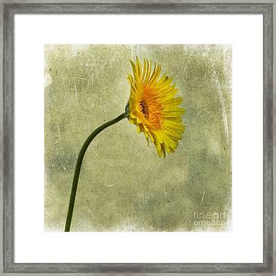 Yellow Gerbera Framed Print by Bernard Jaubert