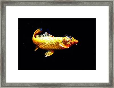 Yellow Koi Rises Framed Print by Don Mann