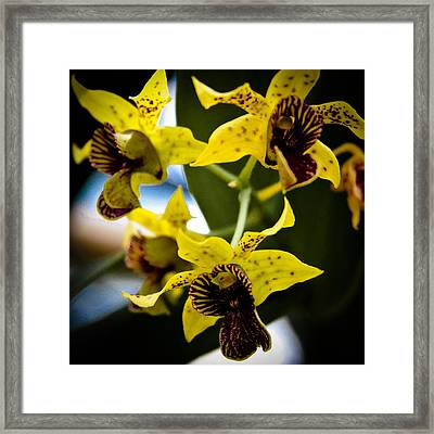 Yellow Orchids Framed Print by David Patterson