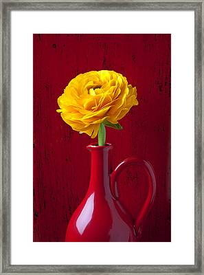 Yellow Ranunculus In Red Pitcher Framed Print by Garry Gay