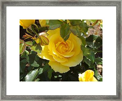 Yellow Rose Of California Framed Print by James Hammen