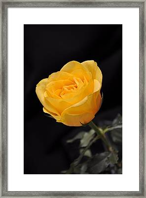 Yellow Rose On Black Background Framed Print by Déco'Style Balexia87