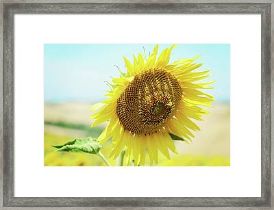 Yellow Sunflower Framed Print by Dhmig Photography